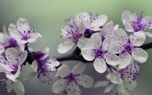 Превью обои ветка, цветение, вишня, весна