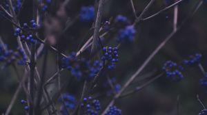 Превью обои ветки, ягоды, синий, растение