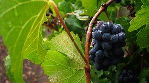 Превью обои виноград, гроздь, ягоды, капли, макро