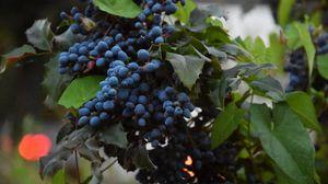 Превью обои виноград, ягоды, лоза, ветка, листья