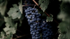 Превью обои виноград, гроздь, листья, ветки, макро
