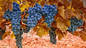 Превью обои виноград, осень, листья, ягоды