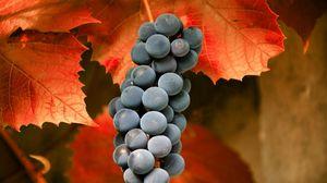 Превью обои виноград, ветка, листья, фрукт