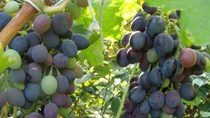 Превью обои виноград, ветка, листья, зелень