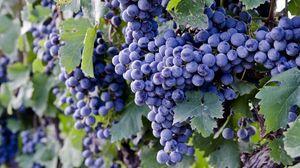 Превью обои виноград, ветка, спелый