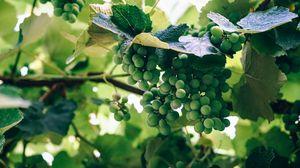 Превью обои виноград, ягоды, лоза, ветка