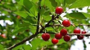 Превью обои вишня, фрукт, ветка, дерево