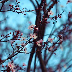 Превью обои вишня, цветение, весна, ветки, цветы