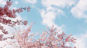 Превью обои вишня, цветение, весна, цветы, ветки, небо
