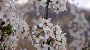 Превью обои вишня, цветы, лепестки, ветки, весна, белый