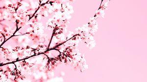 Превью обои вишня, цветы, ветка, розовый, растение, цветение