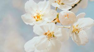 Превью обои вишня, цветы, ветка, макро, белый