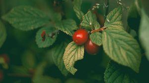 Превью обои вишня, войлочная вишня, китайская вишня, ягоды, листья, куст