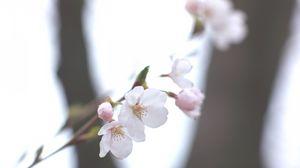 Превью обои вишня, сакура, белая, веточка, небо, весна, размытость, свет