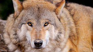 Превью обои волк, хищник, лежать, морда, семейство собачьих