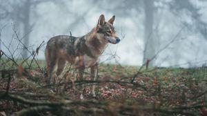 Превью обои волк, койот, собака, лес, туман