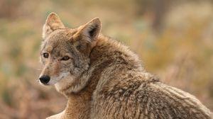 Превью обои волк, койот, собака, хищник