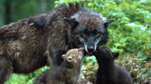 Превью обои волк, семья, детеныши, забота, окрас