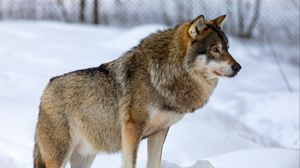 Превью обои волк, животное, хищник, снег, зима