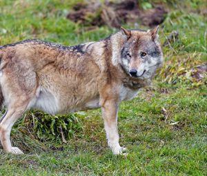 Превью обои волк, животное, хищник, дикая природа, взгляд