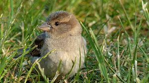 Превью обои воробей, птица, трава
