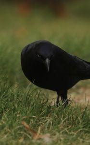 Превью обои ворон, птица, трава, дикая природа