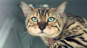 Превью обои взгляд, кошка, усы, глаза