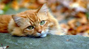 Превью обои взгляд, кот, осень, рыжий