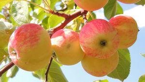 Превью обои яблоки, ветка, листья, фон