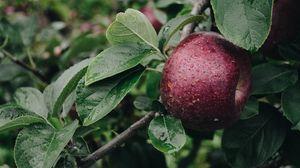 Превью обои яблоко, ветка, капли