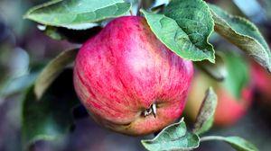 Превью обои яблоко, ветка, плод, спелый