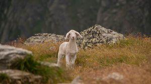 Превью обои ягненок, овца, детеныш, горы