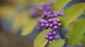 Превью обои ягода, растение, листья, размытость