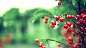 Превью обои ягода, ветка, растение, листья