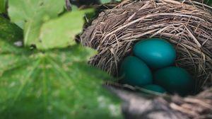 Превью обои яйца, гнездо, дрозд