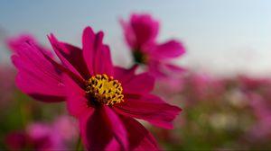 Превью обои яркий, лепестки, розовый, небо, цветок, космея, поле