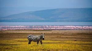 Превью обои зебра, африка, фон, озеро, фламинго
