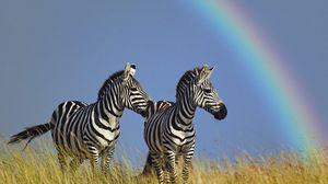 Превью обои зебра, пара, радуга, трава