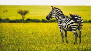 Превью обои зебра, саванна, дикая природа, животное, полосатый, зелень, трава
