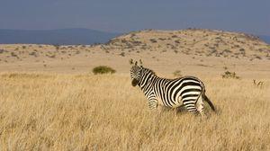 Превью обои зебра, трава, полосатый, лазать, долина, степь