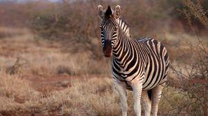 Превью обои зебра, животное, дикая природа, сафари