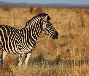 Превью обои зебра, животное, поле, трава, дикая природа