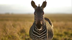 Превью обои зебра, животное, полосы, дикая природа