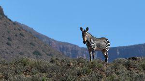 Превью обои зебра, животное, трава, дикая природа