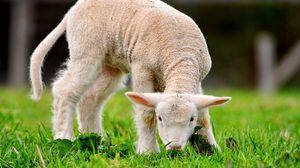 Превью обои зелёная, трава, овца