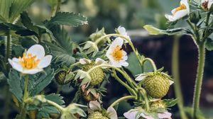 Превью обои земляника, растение, ягоды, цветы, макро