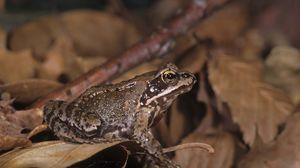 Превью обои жаба, листья, лягушка