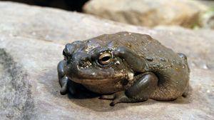 Превью обои жаба, лягушка, камень