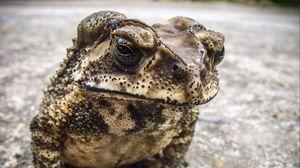 Превью обои жаба, лягушка, земноводный