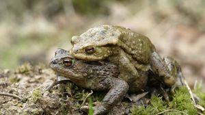 Превью обои жаба, любовь, пара, трава